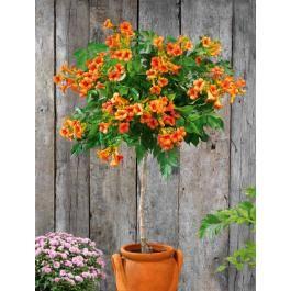 Les 25 meilleures id es concernant arbuste en pot sur pinterest arbuste a f - Petit arbre pour balcon ...