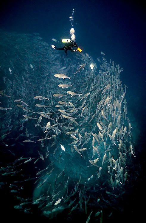 """Diver over a flock of 4,000 karanksov"" by Dmitry Miroshnikov. S)"
