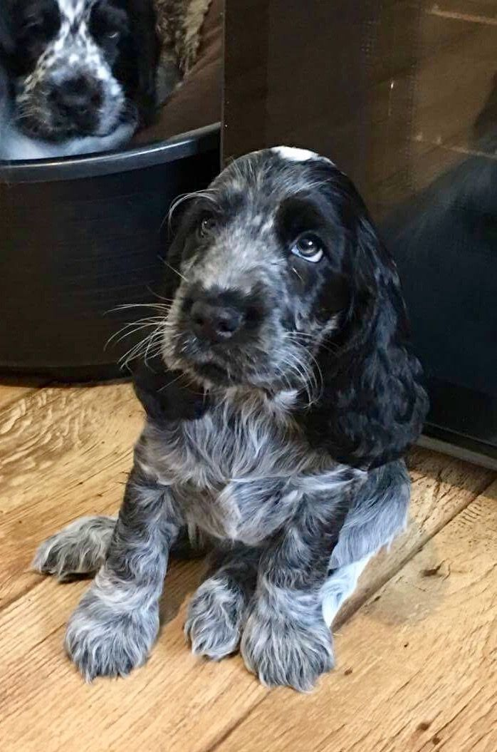 We have one beautiful blue roan male KC registered show cocker spaniel for sale. Both parents been DNA tested clear/normal for FN & PRA. The puppy is ...