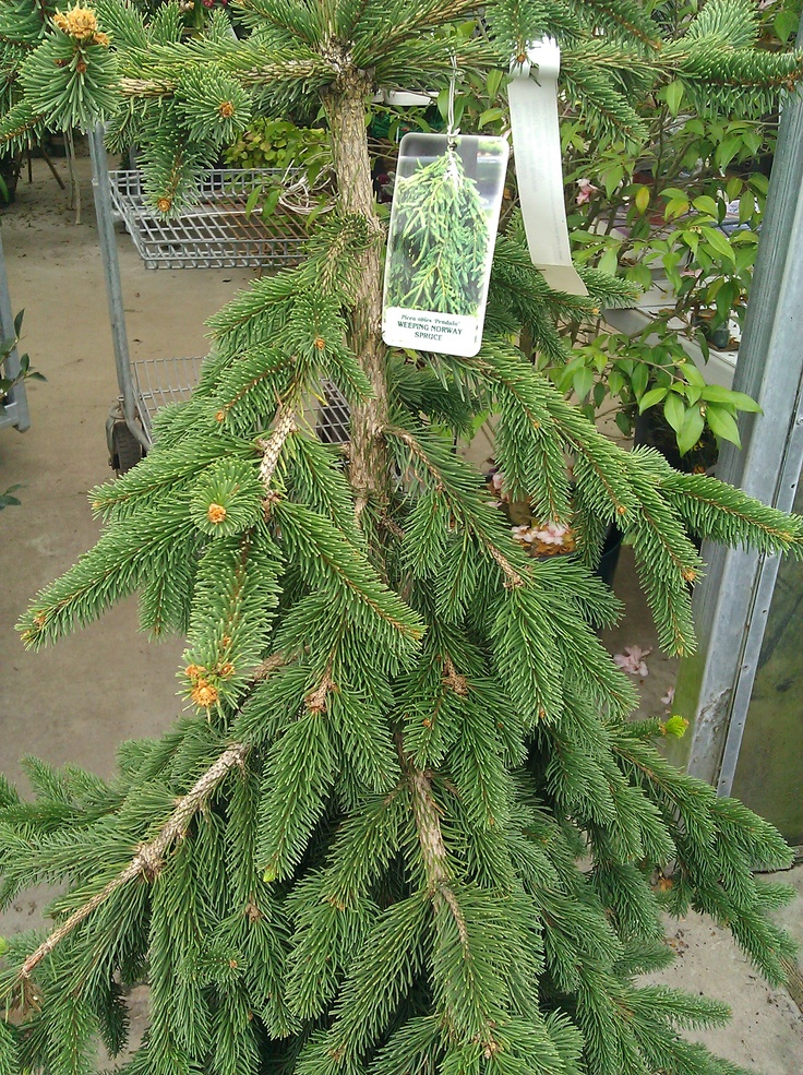 Weeping norway spruce landscape evergreen trees shrubs for Weeping evergreen trees for small gardens