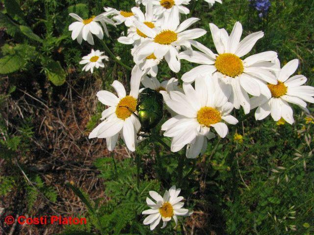 Leucanthemum vulgare, fam. Asteraceae, denumire populară : margarete