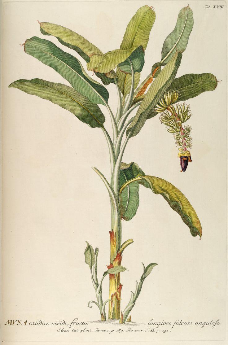 Banana Musa Paradisiaca Circa 1751 Hue