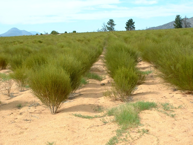 Can you find the tortoise in the Rooibos fields?