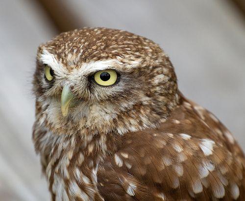 Little Owl - Kleine Eule
