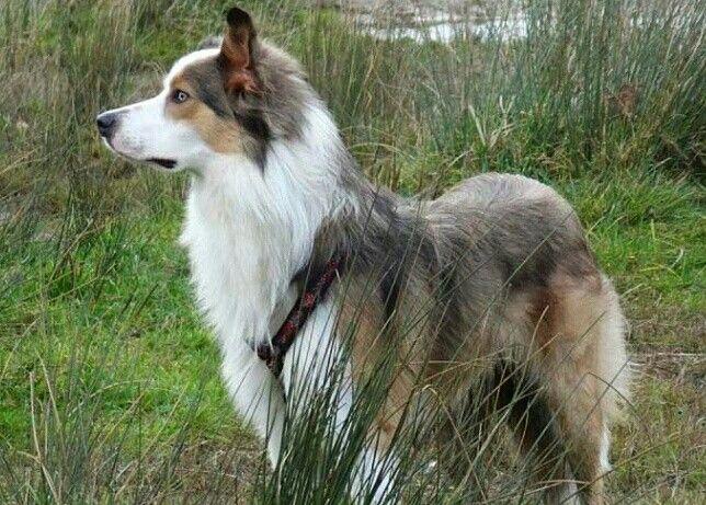 Border Collie Sable Azul E Branco Cao Sable Diluido Azul Preto Diluido Border Collie Collie Dogs