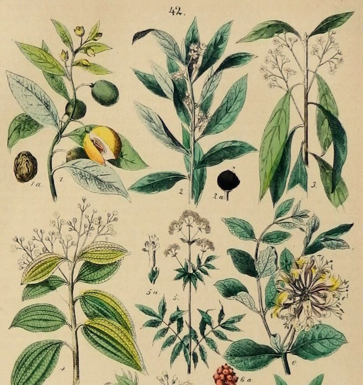 Antique German Chromolithograph. Natural history. Botany: Myristica fragrans,bay laurel,camphor tree,Valerian,Honeysuckles,etc.. Published by Hoffmann in 1880.(Stuttgart) Not a copy.137 years old print. Good condition,reverse blank. Dimension 6.2x9.4 inches or 16X24cm. More