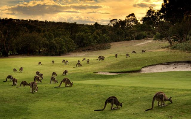 Kangaroos at Anglesea Golf Club, Victoria, Australia ~ Photograher: Leon Rice-Whetton.