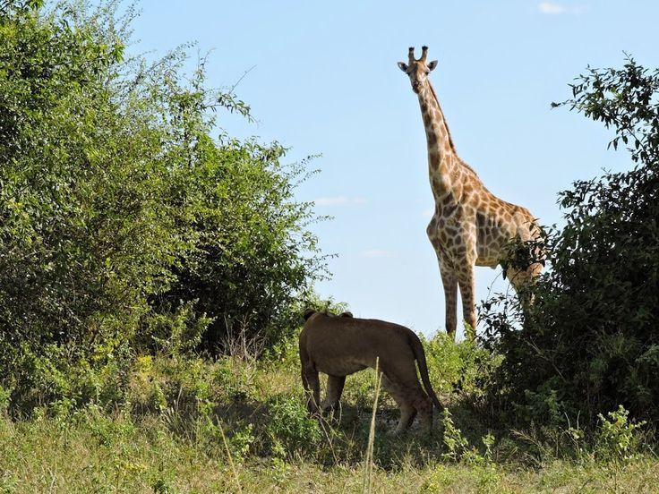 Lion and Giraffe in the Chobe National Park, Botswana