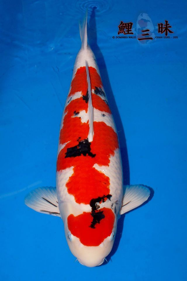 1000 images about koi varieties on pinterest fish for Carpe koi b
