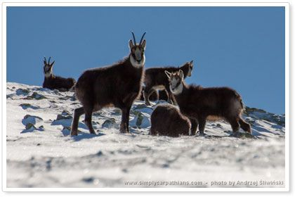 Small chamois cope well  in difficult winter conditions.