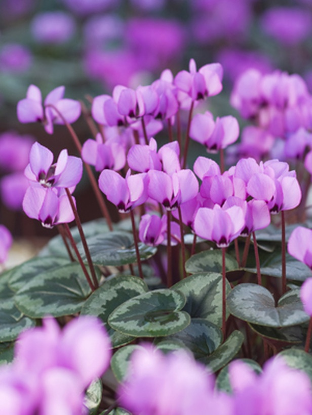Cyclamen coum, Pewter Group  via Stephen Rowell