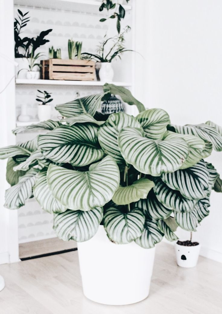What a stunning plant! Would love to add one of these babies to my collection …