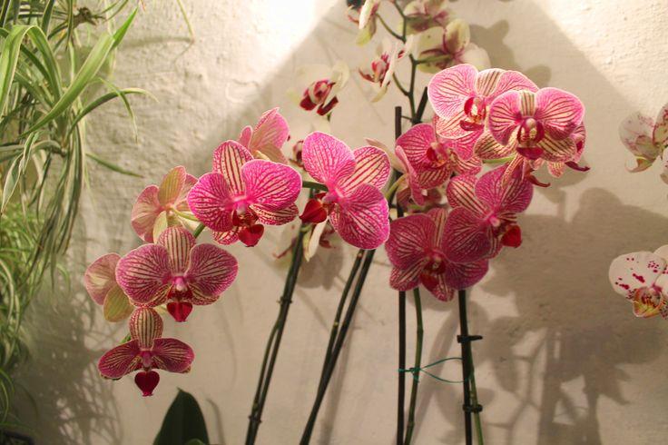 #orchids #orquídeas #corazon #azahar #ceremonia #concursos #cruces #crucesdemayo #flores #patios #patiosdecórdoba #tradición #mayo #mayocordobés #cordoba #andalucia #rojo #rosado #terciopelo #negro #amarillo #abanico #nieve #púrpura #petunias #yellow #heart #amarillo #pétalos #explosión #color