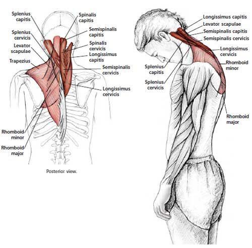 Forward Flexion Neck Stretch - Common Neck & Shoulder Stretching Exercises