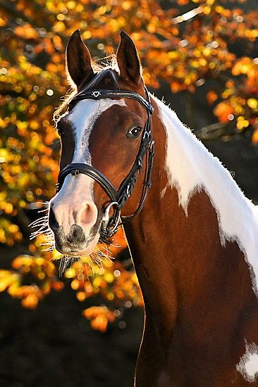 Nice lighting and fall colors behind this beautiful pinto horse - Portfolio Paardenfoto's « Hypo Focus Paardenfotografie