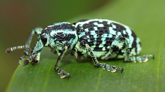 Chrysolopus spectabilis: Botany Bay Diamond Weevil. Their long snout allows them to chew holes in plants to make egg chambers, and assists with food gathering. They are often said to be described as being iridescent green and black. Their undersides also display tones of green. The slightly punctated bodies have a white to green line running vertically their entire length.