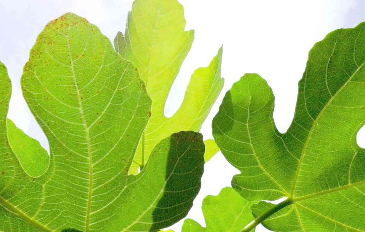 Everyone knows about figs being great tasting and having many health benefits but did you know that Fig Leaves have health benefits? It's true, fig leaves can enhance your life in great ways.Fig L...