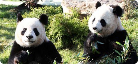 Les Pandas au coeur du Zoo