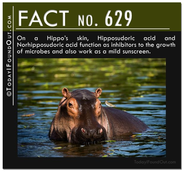25+ best ideas about Hippo facts on Pinterest | Facts about hippos ...
