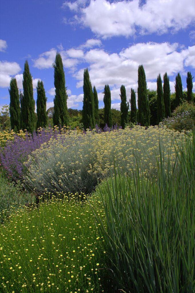 Clouds of yellow Santolina flowers with purple salvia Lambley Nursery, VIC Austtralia