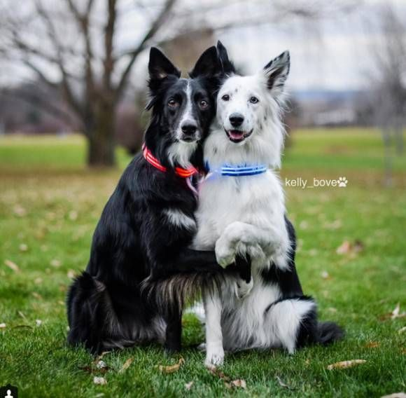 とにかく仲良し!カメラを向けると自発的にギュっとよりそう2匹のコリー犬 - グノシー