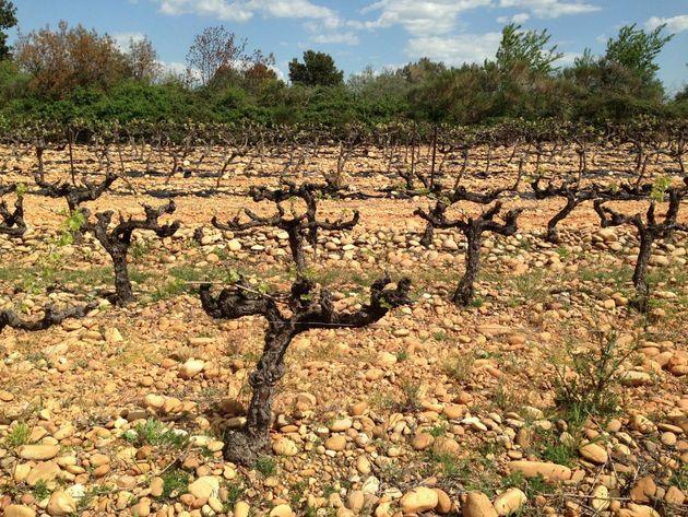 Low yielding Grenache vines. Languedoc