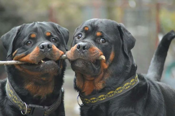 I love Rottweilers so much!  What awesome dogs.