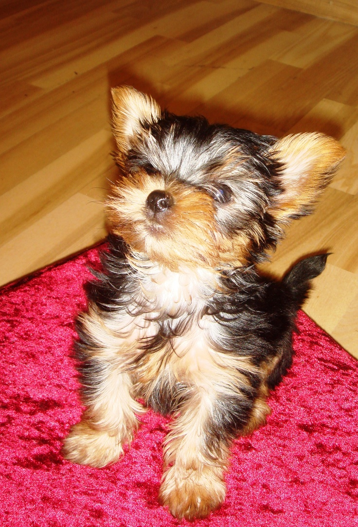 husky yorkie 17 best images about baby yorkies and huskys on pinterest 9656