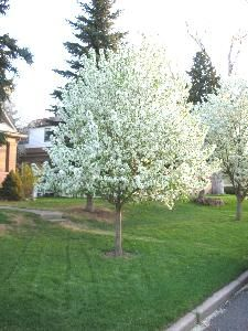 spring snow crab apple tree - backyard landscaping ideas.