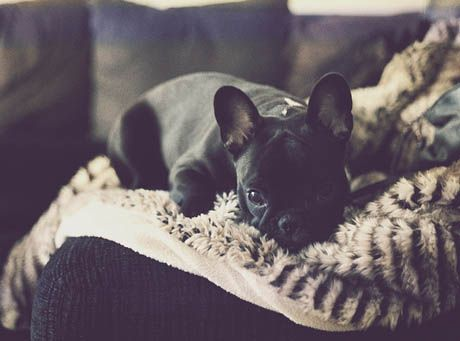 little guyLittle Puppies, French Bulldogs3, French Baby, Black French Bulldogs, Adorable, Wild Pets, Baby Dogs, Frenchie, Animal