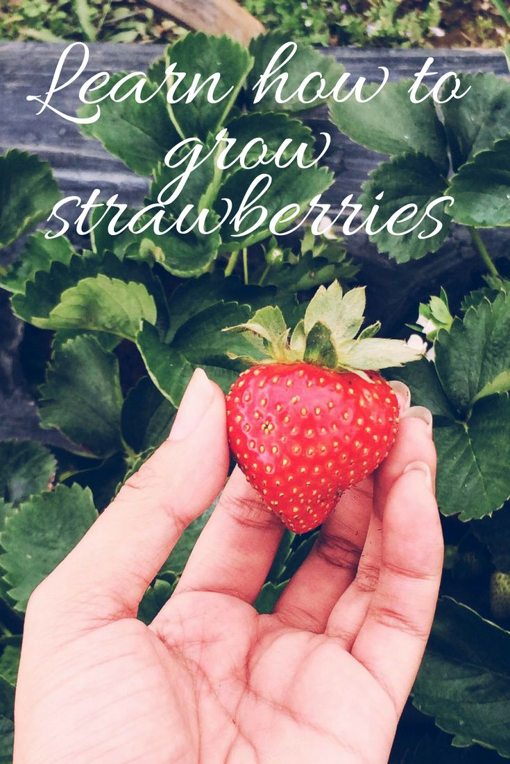 how to plant and grow strawberries in containers