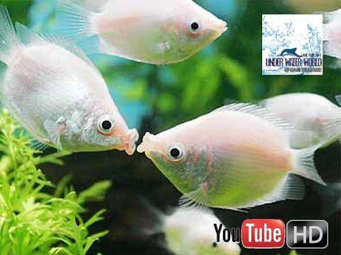 Kissing pair Aquarium fish : kiss each other