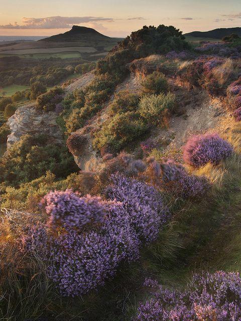 Moorland heather, Yorkshire, England