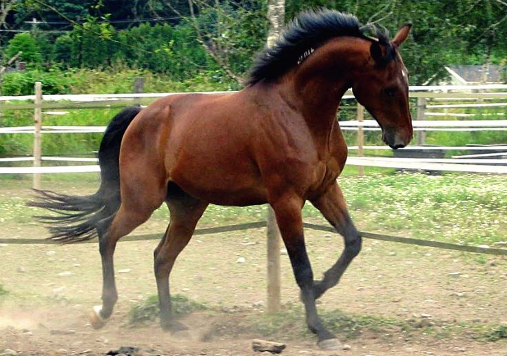 American Standardbred. The fastest horses in the world at a trot or pace racing in harness. They have good dispositions, learn quickly, and are suitable for being ridden at all gaits.