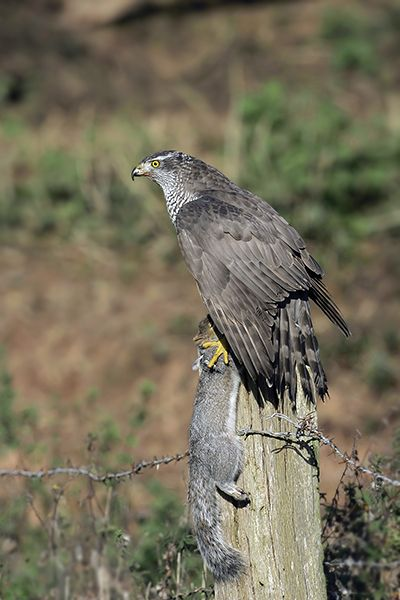 Birds of Prey - Mark Hancox Bird Photography