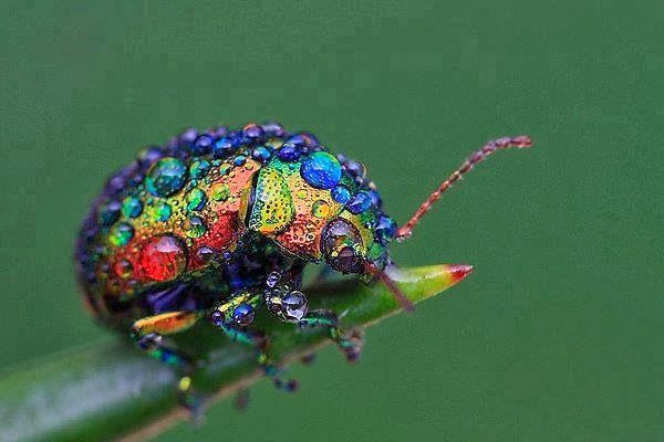 Alluring Planet: Rainbow leaf beetle.