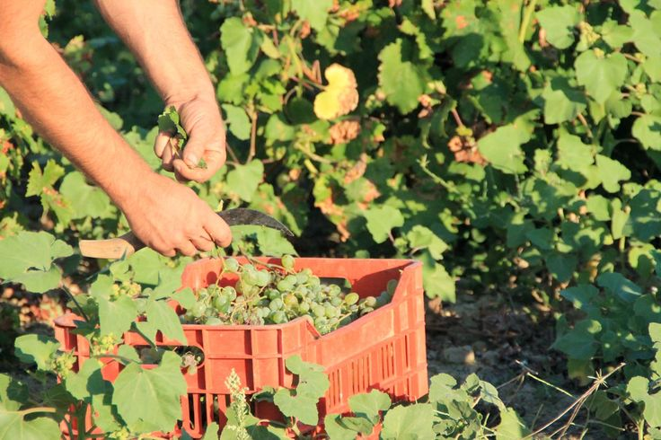 Harvesting the Muscat of Alexandria, Limnos, Greece