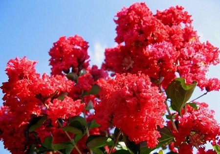 Crepe Myrtle Flower: Joy, love, and remembrance