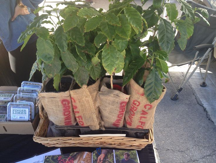 Santa Monica Farmers' Market Report: Yes, You Can Grow Your Own Coffee Beans lamag.com shaleyfarms.com fingerlime, family farm, organic