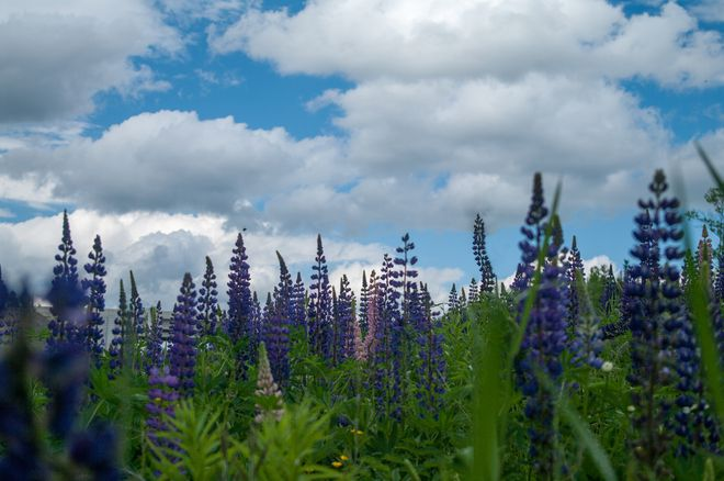 Wild Lupins near Fredericton - New Brunswick, Canada
