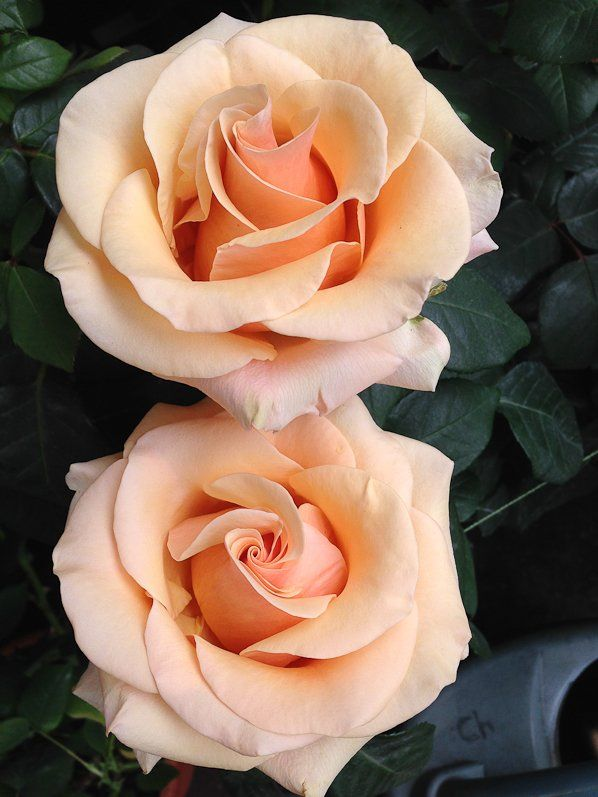 RP: Double Apricot Pink Spring Roses, Lepine, Ile de la Cité, Paris - pariscotejardin.fr