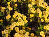 466002 - Chrysanthemum (Chrysanthemum indicum 'Goldmarianne')
