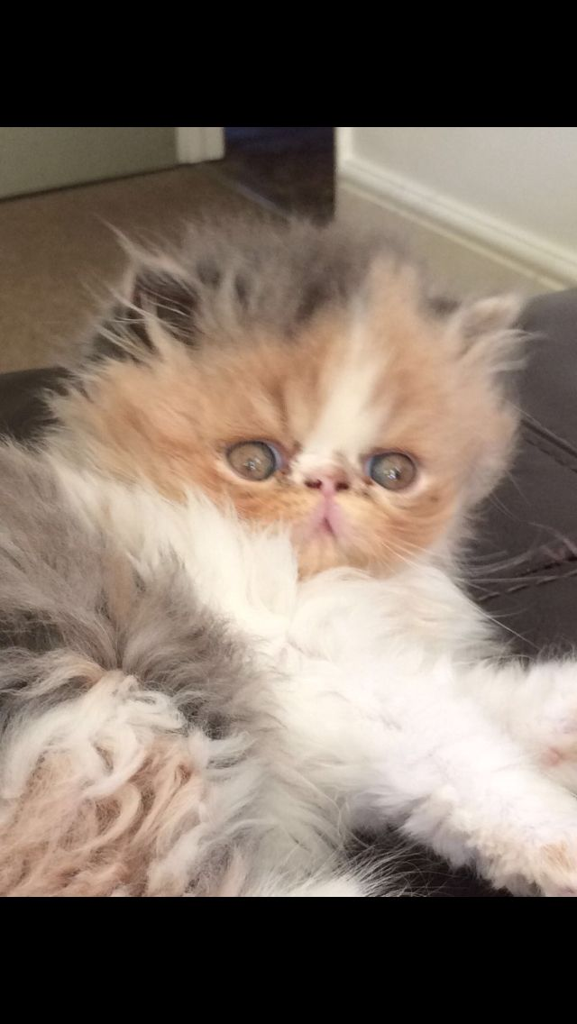 1000 ideas about persian kittens for sale on pinterest
