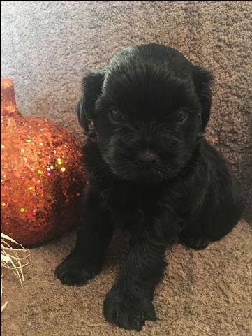 Shorkie Tzu puppy for sale in CLAY CITY, KY. ADN-43408 on PuppyFinder.com Gender: Male. Age: 4 Weeks Old