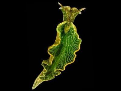 """reretlet: """" 植物のDNAと融合し、太陽エネルギーだけで生きているすごいウミウシ - GIGAZINE """""""