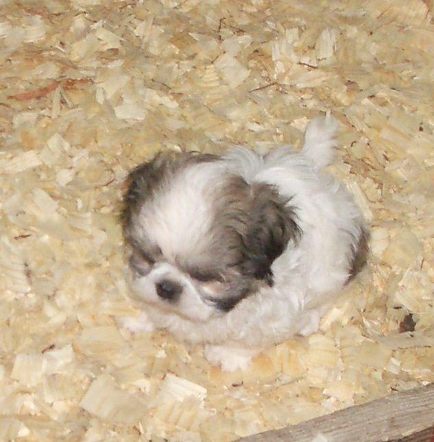 I Am A Georgia Shih Tzu Breeder Supplying Healthy Happy Puppies In