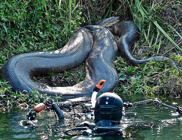 Amazon River Anaconda | Diver has a near hiss with 26ft anaconda in Brazil