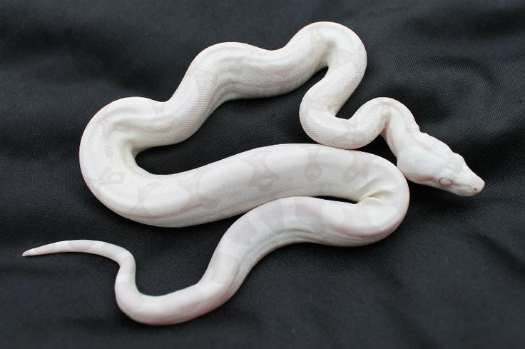 Moonglow boa, very pretty eyes are killer!!