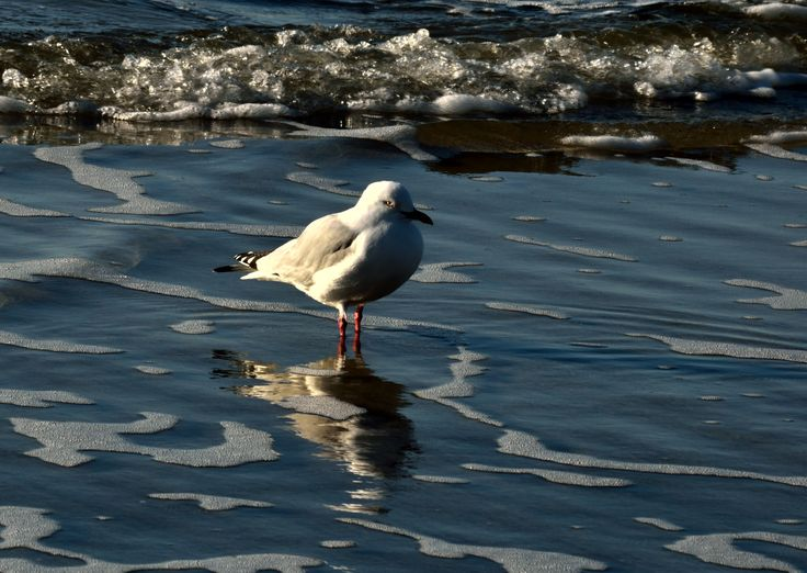 gull in sirf at Ohiwa, reflects in the water late afternoon