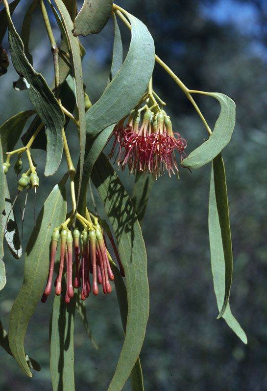 Amyema miquelii, also known as Box Mistletoe, is a species of flowering plant, an epiphytic hemiparastic plant of the family Loranthaceae, found attached to several species of Australian eucalypt and occasionally on some species of Acacia. It is the most widespread of the Australian Mistletoes, occuring mainly to the west of the Great Dividing Range